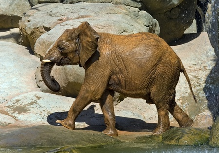 African elephant, recently bathed.