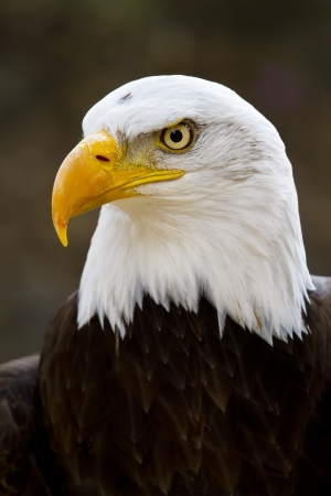 Portrait of a bald eagle  lat  haliaeetus leucocephalus
