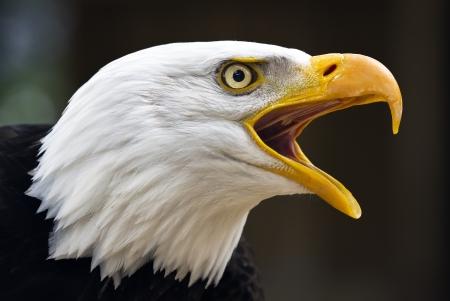 Portrait of a bald eagle  lat  haliaeetus leucocephalus