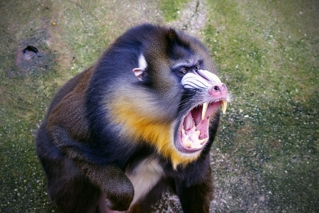 The mandrill  Mandrillus sphinx  is a primate of the Cercopithecidae  Old-world monkeys  family