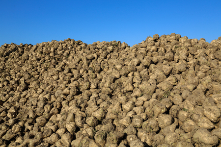 Pile of sugar beets on a field