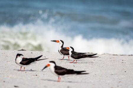 Foto de Skimmers sport beautiful red and black beaks - Imagen libre de derechos