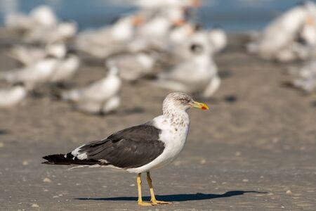Foto de Lesser black backed gull in a flock of terns on the beach - Imagen libre de derechos