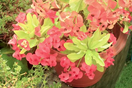 Poi sian flower uphorbia milli/ It is refreshing, relaxing time we looked.outdoor, milii, tropical, euphorbia milii, euphorbia splendens, milli, red flower, thorn, christ, pink, colorful, white, euphorbia, spiny, gro rain