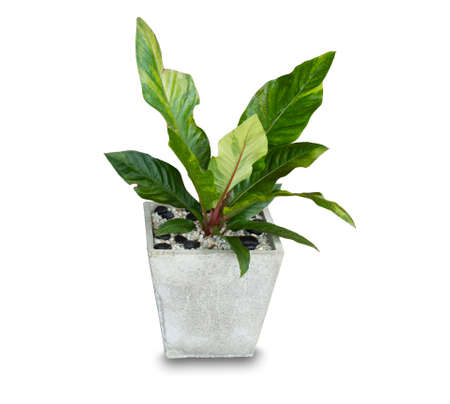 Photo pour Ornamental plants, in the house with large and beautiful green leaves, in cement pots, sacred plants popular in the home.on white background wich clipping part - image libre de droit