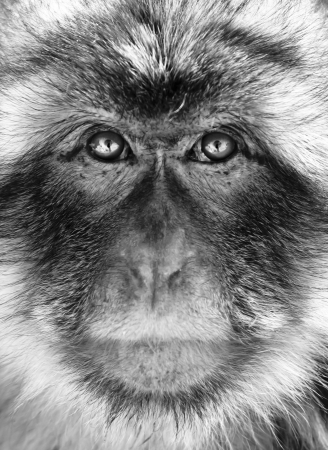 Black and white close-up portrait of a Gibraltar Barbary Macaques.