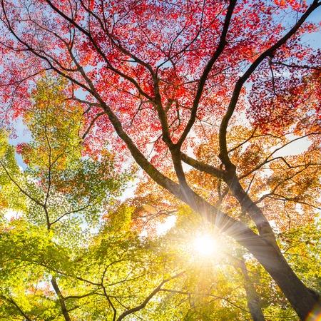 Photo pour The warm autumn sun shining through colorful treetops, with beautiful bright blue sky. Square composition. - image libre de droit