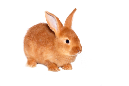 Photo for red wild rabbit on white background - Royalty Free Image