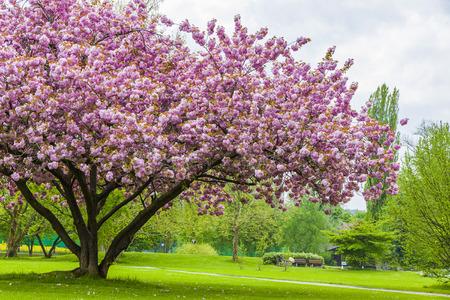 Photo for Beautiful sakura tree in the park in Kreuzlingen, Switzerland - Royalty Free Image