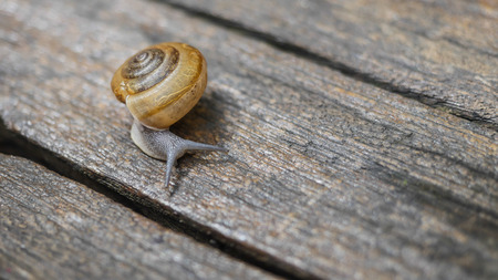 Snail walking alone on the  woodenfloor