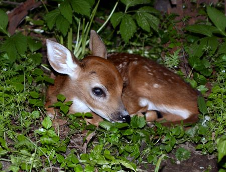 Baby Fawn hiding in the grass