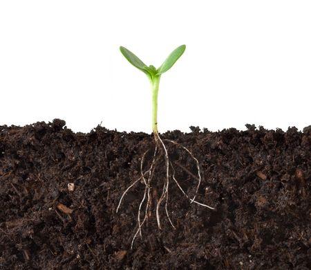 Photo pour Cutaway of a Seedling in Dirt - Roots Showing - image libre de droit