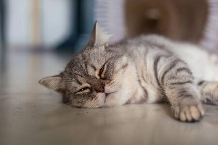 Photo pour Scottish Straight. Cute cat portrait, happy pet. - image libre de droit