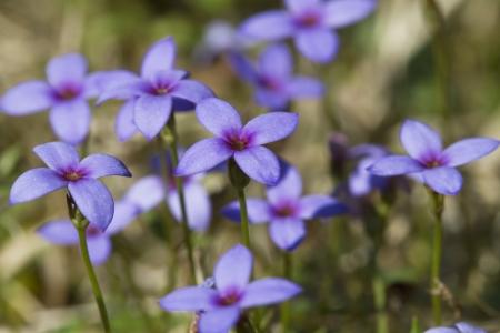 Tiny Bluet Wildflowers - Hou