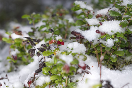 Red cowberry in snow