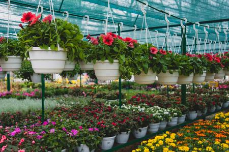 Photo pour Flowers hanging in a pot in the greenhouse - image libre de droit