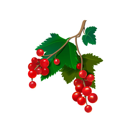Realistic red currants on a white background. Vector illustration