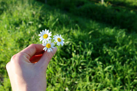Photo for Three daisies in a female hand on a blurred green background - Royalty Free Image
