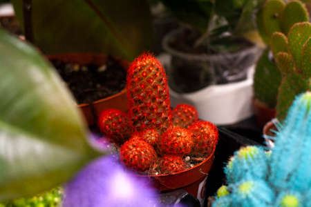 Photo for Red cactus in a pot among other cacti in the store - Royalty Free Image