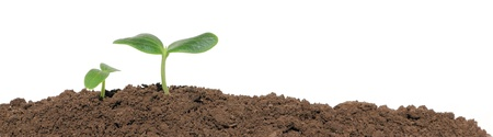 A cucumber seedling in the ground, isolated
