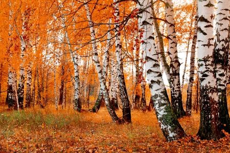 Foto de orange birch grove - Imagen libre de derechos