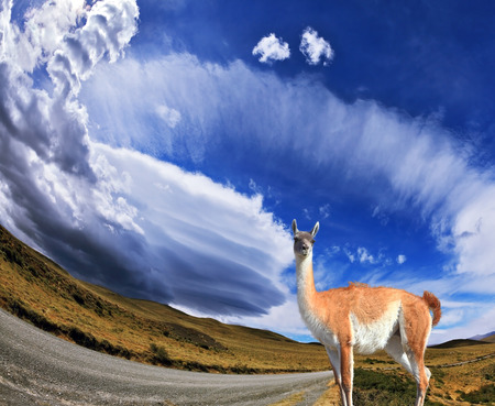 National Park Torres del Paine in Chile  At the roadside gravel road worth trusting llama -  small camel