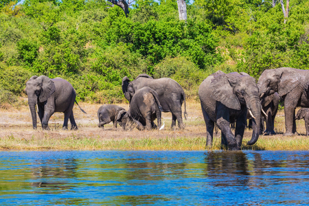 Herd of African elephants crossing river in shallow water. The concept of active and exotic tourism