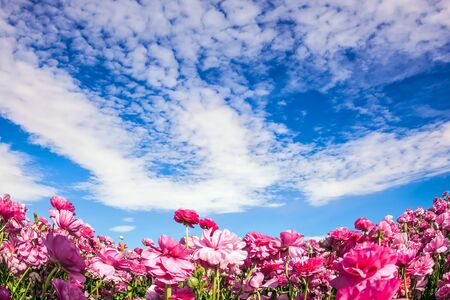 Photo pour Cool spring in Israel. Adorable pink garden buttercups bloom on a kibbutz field. Clouds fly in the sky. Concept of ecological and rural tourism - image libre de droit