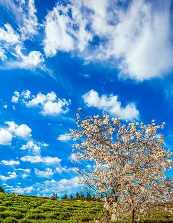 Photo for Spring in Israel. White-pink olive tree flowers and fresh green grass in the hills. Light spring clouds over blooming land. Lush elegant flowering of an olive tree. Ecological and photo tourism concept - Royalty Free Image