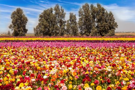 Photo pour The field of flowering colorful buttercups. Beautiful sunny spring day. Gorgeous striped floral carpet. Spring walk in southern Israel. Ecological, botanical and photo tourism concept - image libre de droit