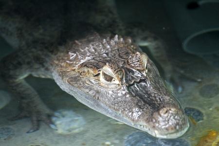 Portrait of a crocodile inside water