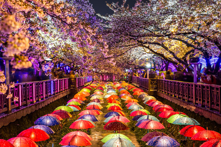 Foto per Cherry blossoms at night in Busan, South Korea. - Immagine Royalty Free