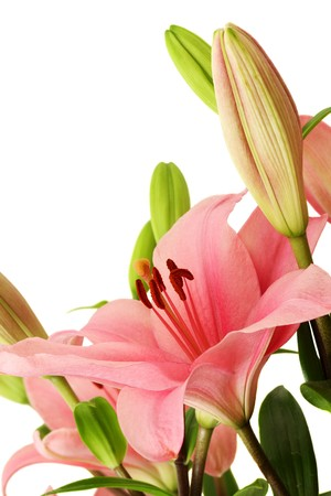 Closeup of pink lily blossom on white background