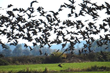 Foto de Flock of migrating Canadian Geese taking flight - Imagen libre de derechos