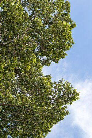 Foto de Close-up, low angle view, numerous leafy views of a large tall rubber tree against the daytime sky as a backdrop. - Imagen libre de derechos