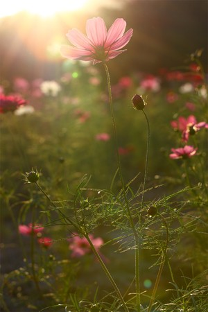 Pink cosmos field backlit