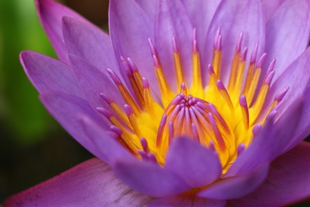 Beautiful Purple Lotus Close Up View