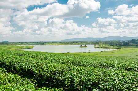 tea plantation at Singha Park in Chiang Rai Thailand