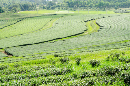 tea plantation at Singha Park,Chiang Rai Thailand