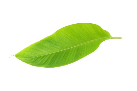 Young banana leaf on white background