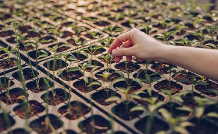 Photo pour Crop woman hand growing seeds in hothouse - image libre de droit