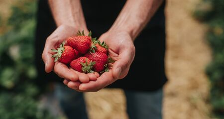 Photo for Crop farmer showing ripe strawberries after first harvest - Royalty Free Image