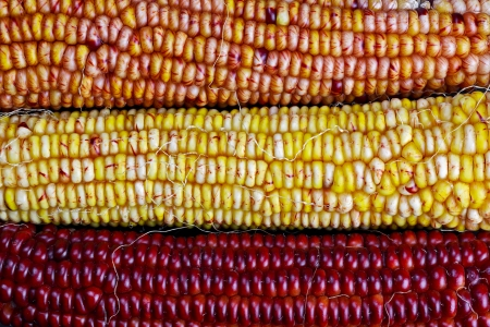 Three colorful ears of ornamental Indian corn or maizeare displayed in fall harvest colors of orange, yellow, and red