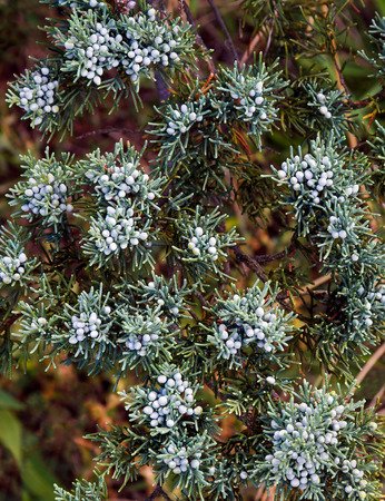 Bluish berries adorn the branches of this evergreen tree photographed close