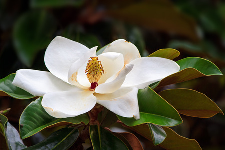 A large, creamy white southern magnolia flower blossom is circled by the glossy green leaves of the tree