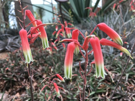 Red and Green Delicate aloe fragilis flower  from Madagascar