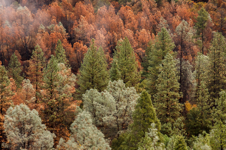 Photo pour Aftermath of a California forest  wildfire that left a checkerboard of dead and live conifer trees in its path of destruction - image libre de droit