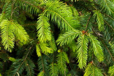 Photo for Closeup of douglas fir (Pseudotsuga menziesii) evergreen branches and needles - Royalty Free Image