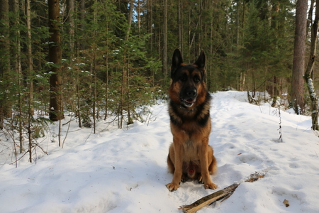 Big dog in a cold winter forest