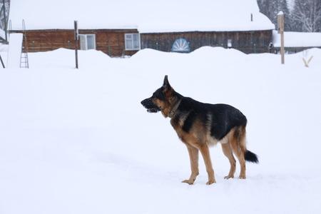German shepherd on the snow in the village in winter day
